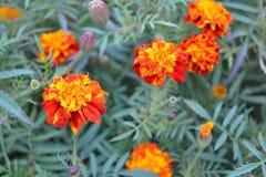 Flores coloridas de Tagetes Imágenes de archivo libres de regalías