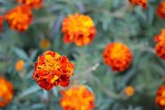 Flores coloridas de Tagetes Foto de archivo
