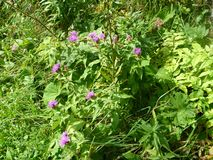Flores coloridas del apline en flor Fotografía de archivo libre de regalías