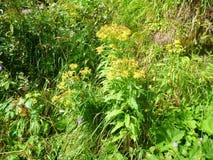 Flores coloridas del apline en flor Fotos de archivo