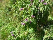 Flores coloridas del apline en flor Fotografía de archivo