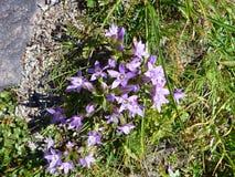 Flores coloridas del apline en flor Imágenes de archivo libres de regalías