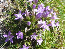 Flores coloridas del apline en flor Imagenes de archivo