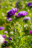 Flores coloridas del aster Fotos de archivo