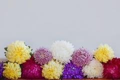 Flores coloridas del aster en fondo de madera Callistephus chinensis Fotos de archivo libres de regalías