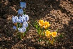 Flores coloridas del azafrán en la primavera Foto de archivo libre de regalías