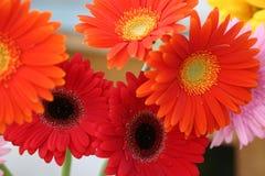 Flores coloridas del gerbera. Fotografía de archivo