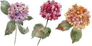 Flores coloridas del gortenzia de la acuarela Flor botánica floral Elemento aislado del ejemplo libre illustration