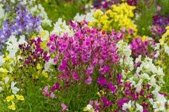 Flores coloridas del guisante de olor fotos de archivo