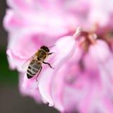 Flores coloridas del jacinto con la abeja de la miel Fotos de archivo libres de regalías