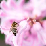 Flores coloridas del jacinto con la abeja de la miel Imágenes de archivo libres de regalías