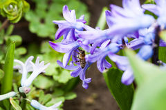 Flores coloridas del jacinto con la abeja de la miel Imagen de archivo libre de regalías