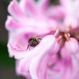 Flores coloridas del jacinto con la abeja de la miel Fotografía de archivo libre de regalías