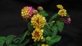 Flores coloridas del Lantana que florecen en un timelapse almacen de metraje de vídeo