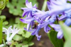 Flores coloridas del orientale de Hyacinthus del jacinto con la abeja Imágenes de archivo libres de regalías