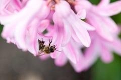 Flores coloridas del orientale de Hyacinthus del jacinto con la abeja Fotos de archivo