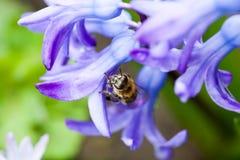 Flores coloridas del orientale de Hyacinthus del jacinto con la abeja Foto de archivo libre de regalías