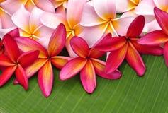 Flores coloridas del Plumeria Foto de archivo libre de regalías