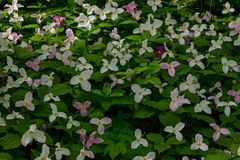 Flores coloridas del Trillium Fotos de archivo