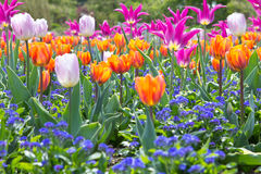 Flores coloridas del tulipán foto de archivo