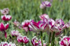 Flores coloridas del tulipán en un macizo de flores en el parque de la ciudad fotografía de archivo libre de regalías