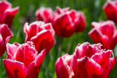Flores coloridas del tulipán en un macizo de flores en el parque de la ciudad foto de archivo