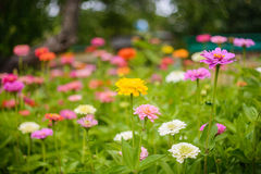 Flores coloridas del Zinnia en el jardín imágenes de archivo libres de regalías