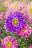 Flores coloridas do áster Ásteres brilhantemente coloridos imagens de stock royalty free