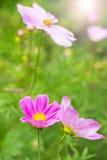 Flores coloridas do cosmea Foto de Stock Royalty Free