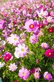 Flores coloridas do cosmos Fotos de Stock