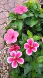 Flores coloridas do hibiscus Imagem de Stock Royalty Free