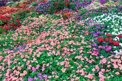 Flores coloridas do petúnia Fotos de Stock Royalty Free