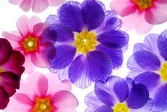 Flores coloridas do primula Imagens de Stock Royalty Free