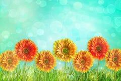 Flores coloridas dos gerbers Imagem de Stock Royalty Free