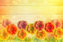Flores coloridas dos gerbers Fotografia de Stock Royalty Free