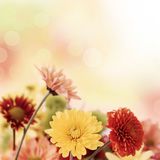 Flores coloridas dos mums no fundo morno do bokeh Imagens de Stock