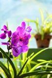 Flores coloridas en el jardín botánico real Peradeniya, Sri Lanka Foto de archivo