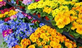 Flores coloridas en un florista Cultivando un huerto, primavera, fondo de la naturaleza Foto de archivo