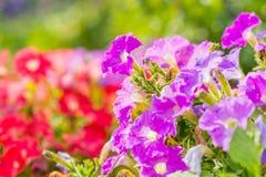 Flores coloridas florecientes del foco suave en verano Foto de archivo