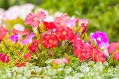 Flores coloridas florecientes del foco suave en verano Foto de archivo libre de regalías