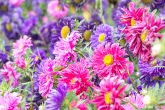 Flores coloridas florecientes del foco suave en verano Imagen de archivo