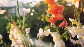 Flores coloridas florecientes del gladiolo en jardín en el tiempo de la puesta del sol con efectos de la llamarada del lense en a almacen de metraje de vídeo