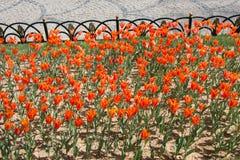 Flores coloridas florecientes del tulipán en el jardín Fotografía de archivo