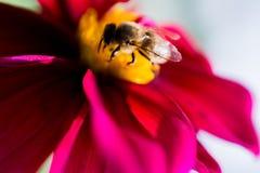 Flores coloridas hermosas con la abeja Foto de archivo libre de regalías