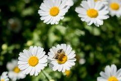 Flores coloridas hermosas con la abeja Imagen de archivo