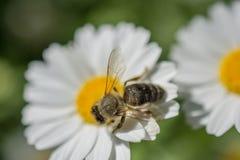 Flores coloridas hermosas con la abeja Fotografía de archivo