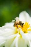 Flores coloridas hermosas con la abeja Imagenes de archivo