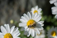 Flores coloridas hermosas con la abeja Foto de archivo