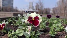 Flores coloridas hermosas de la viola pensy roja y blanca en el macizo de flores del parque de la ciudad en la brisa, gente borro almacen de metraje de vídeo