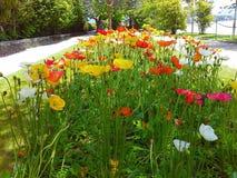 Flores coloridas hermosas en las amapolas Isola Madre, las islas de Borromean, Stresa, Piamonte, Lombardía, Italia del parque Fotos de archivo libres de regalías